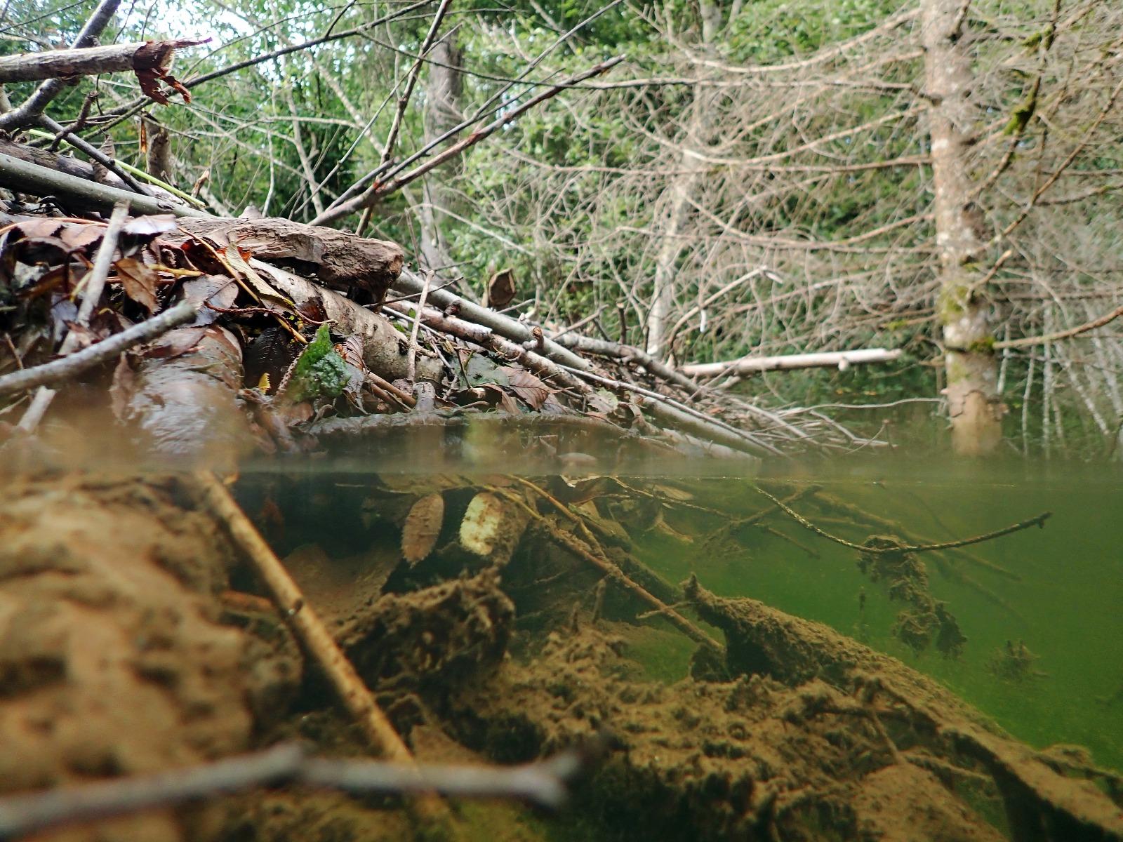 Bäverfördämning med trädstammar vid floden