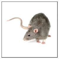 Så bekämpar du råttor