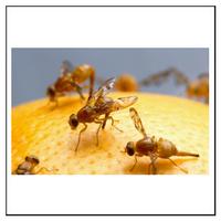 Så bekämpar du bananflugor i bostaden