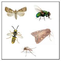 Flygande Insekter