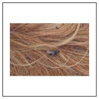 Hästbromsar, bromsar och stickflugor