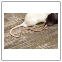 Sådan ser du forskel på mus og rotter