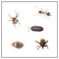 Krypande insekter
