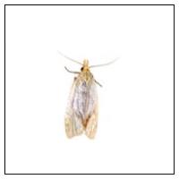 Mal (malfjärilar)
