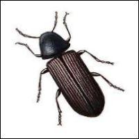Skalbaggar