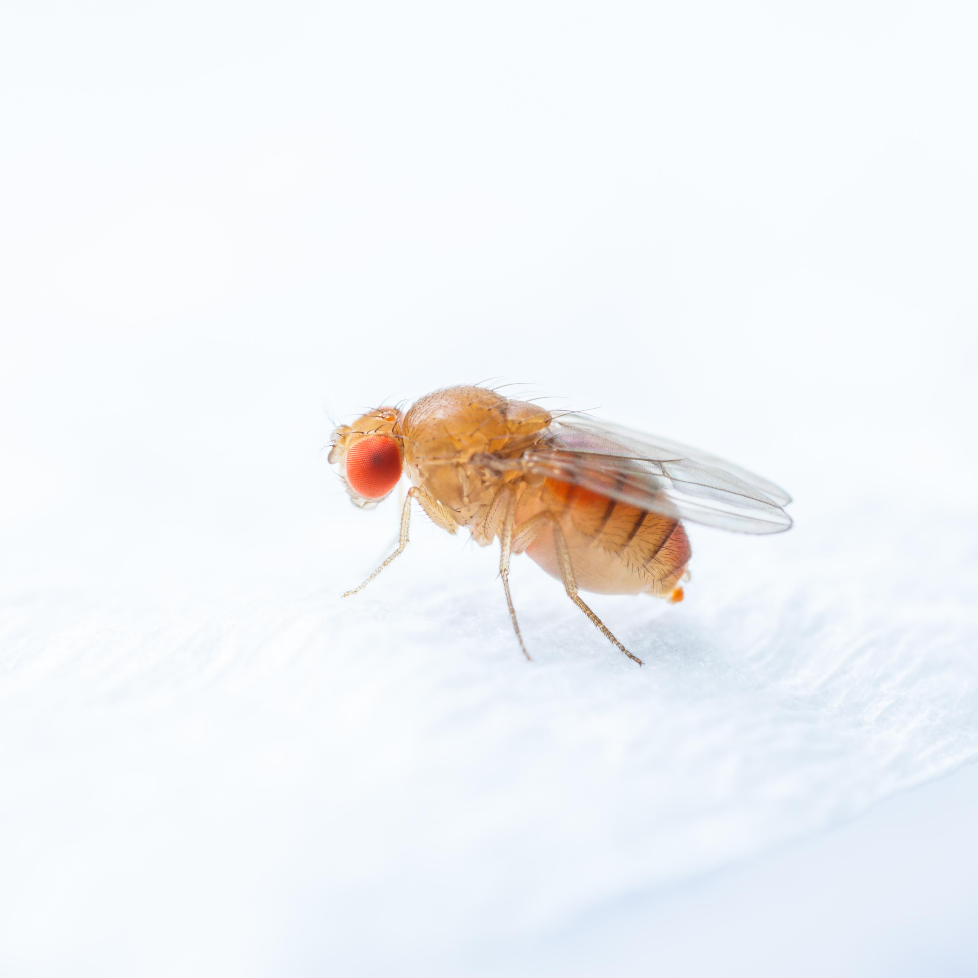 Bananflugor - Drosophila melanogaster