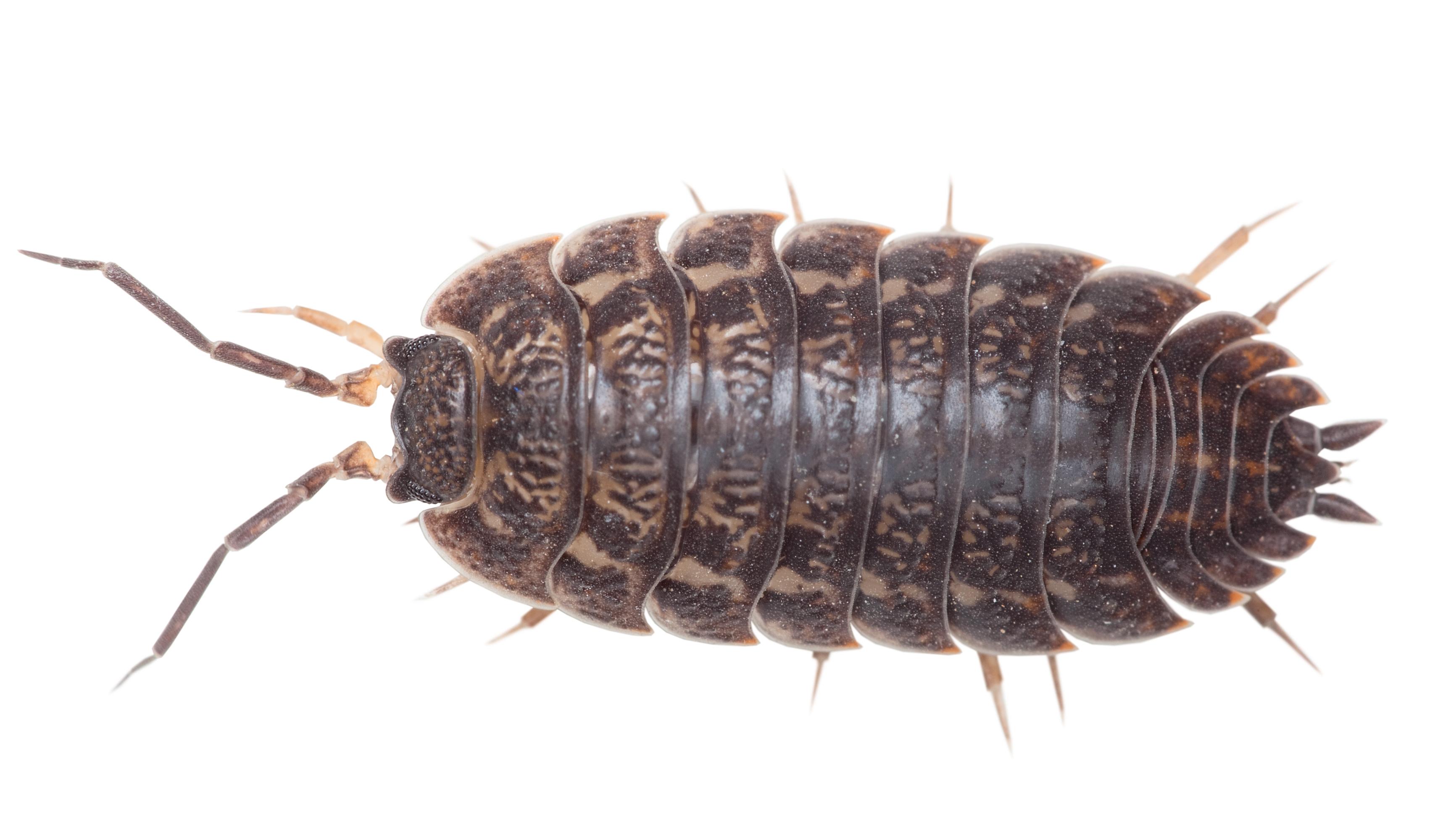 Gråsuggor (Oniscidea)