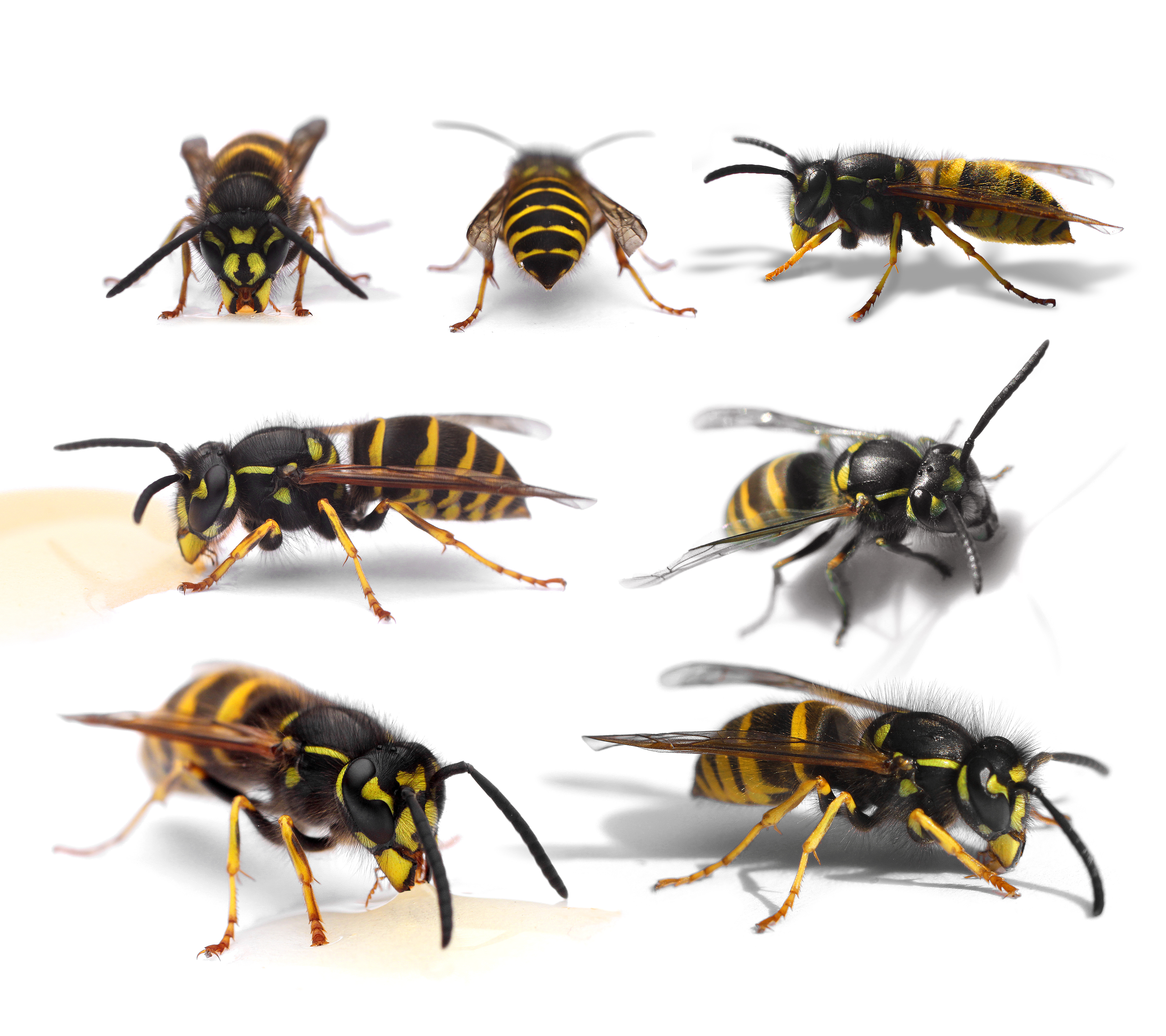 Getingar  - Vespidae