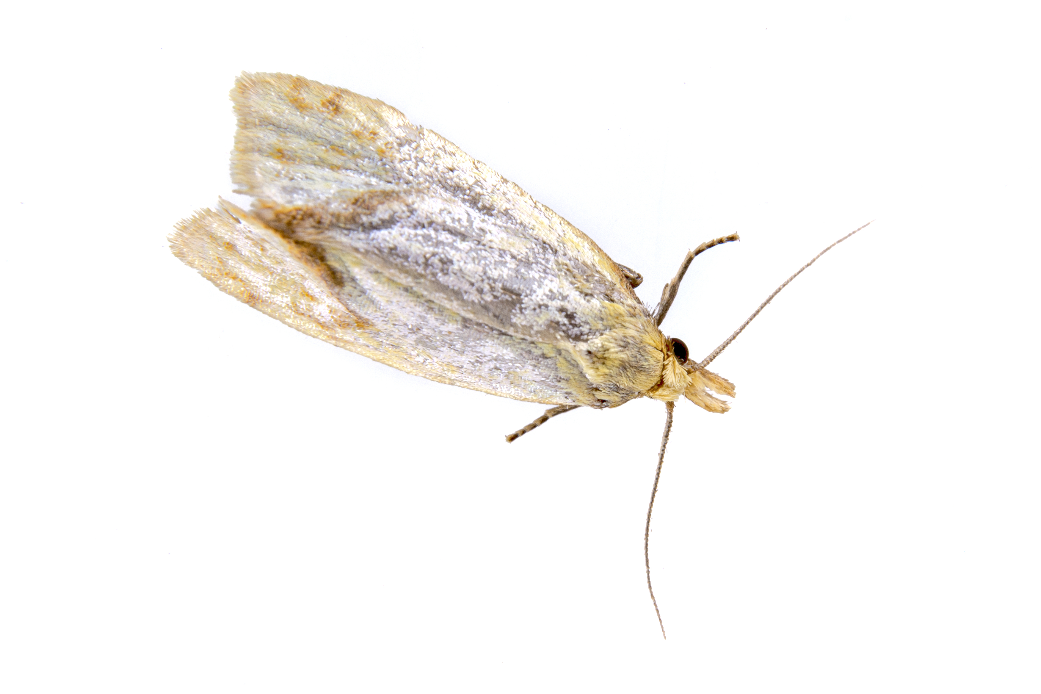 Klädesmal - Tineola bisselliella