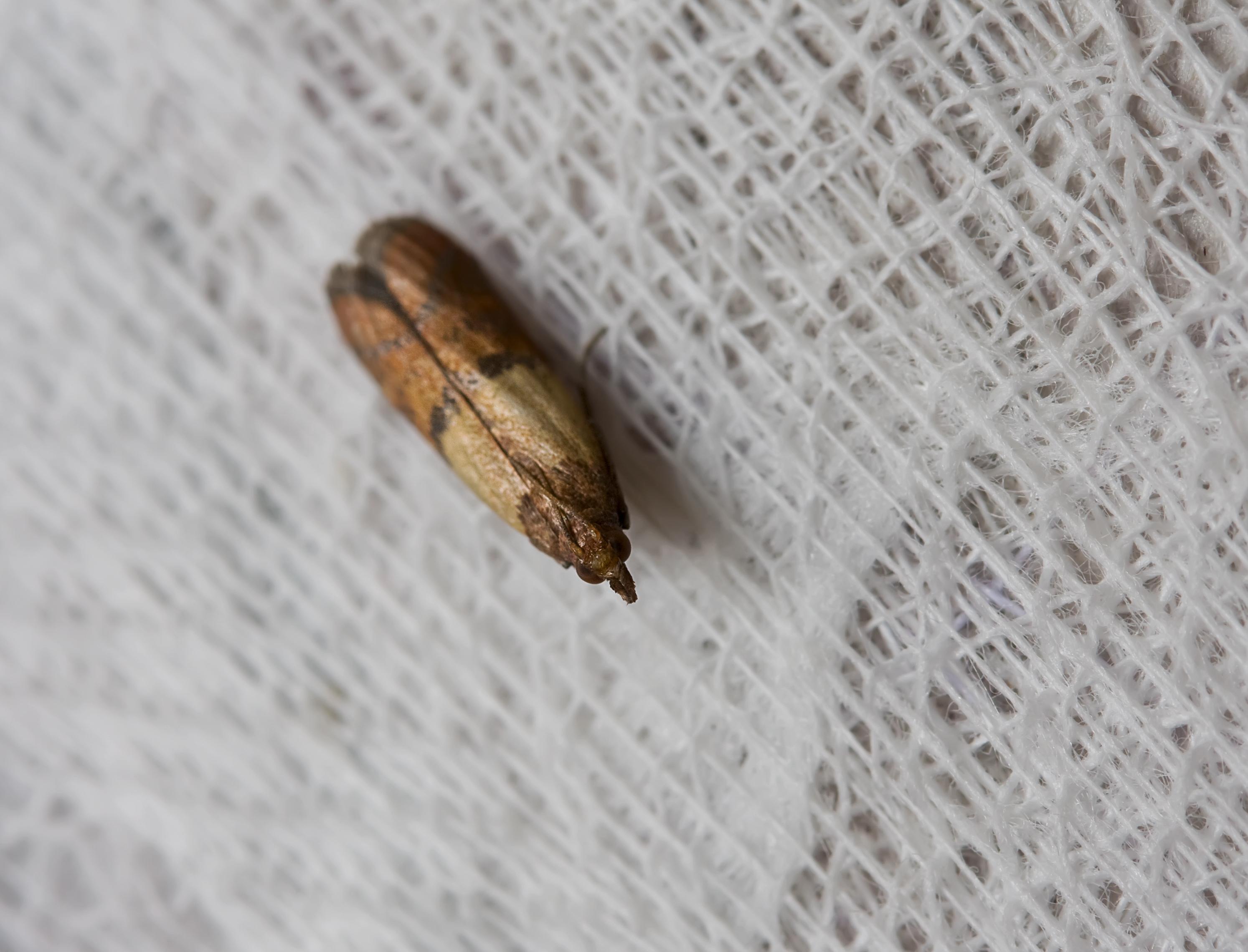 Mjölmal - Ephestia kuehniella