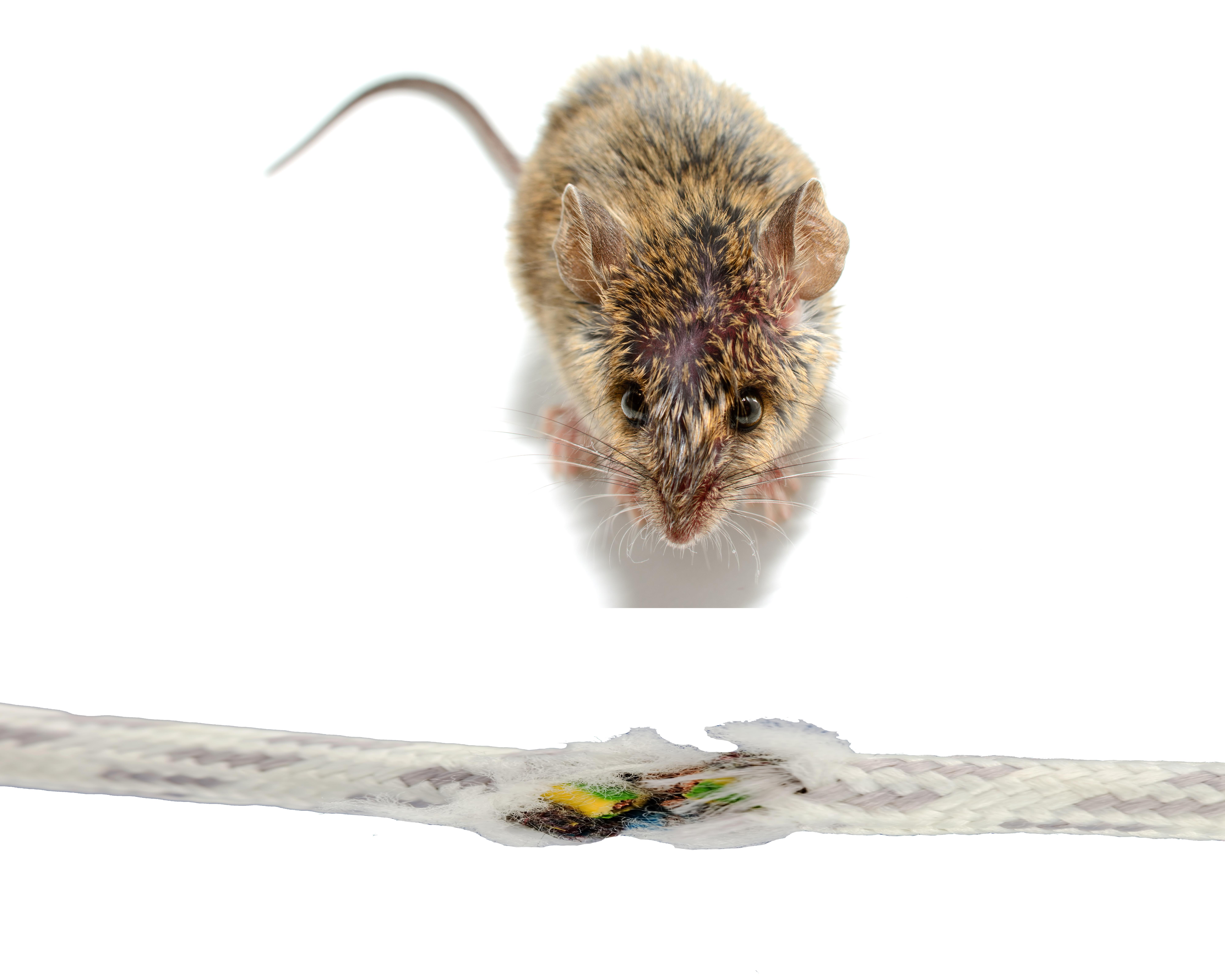 möss som äter av tråd och kabel